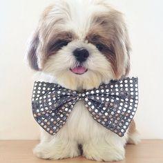 Cutie in a Bow Tie