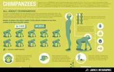Sponsored Interactive Infographic: All About Chimpanzees
