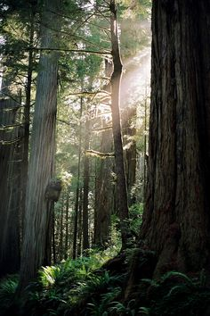 Afternoon in the Redwoods, how the light shines through the trees is beautiful : )