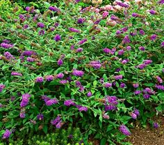 Buddleia Lo & Behold® Blue Chip