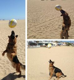 "Anaheim Ducks newest/oldest forward Dustin Penner ‏@ Dustinpenner25 tweeted this photo of his acrobatic dog:  ""Playing a little beach volleyball. What an athlete!"""