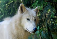 Arctic wolf by sylverface.deviantart.com on @deviantART