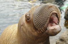 Walrus Walrus Walrus Walrus