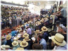 Amish horse auction