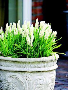 white Spring blooming Muscari