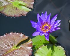 Water lily wonder