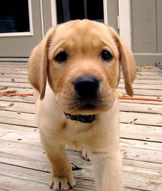 Nothing's cuter than a Yellow Lab puppy...