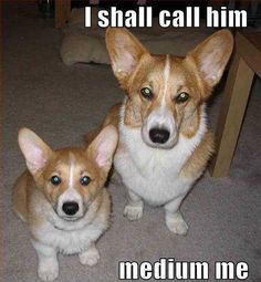 Corgi funny, two are better than one. Z