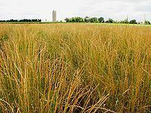 Thinopyrum intermedium - Wikipedia, the free encyclopedia