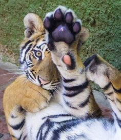 11 photos that prove tigers have a softer side #animals #tigers