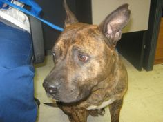 Dickie is a 1 year old female Pit Lab mix. She is house trained and up