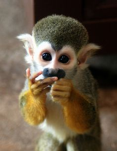 Cute Little Squirrel Monkey