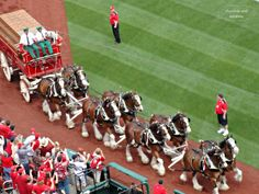 The Clydesdales are a symbol of Busch Stadium and St. Louis Cardinals Baseball