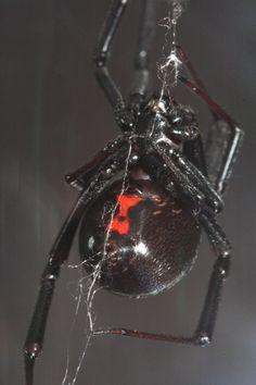 My favorite spider...the black widow