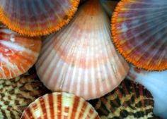 scallops, sea shell, orang, colors, the ocean