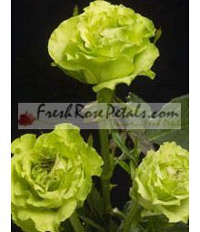 supergreen roses. love these!