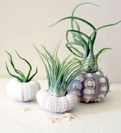 mixed trio // air plant sea urchins @Elizabeth Lockhart White