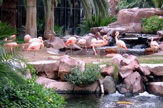 Pink flamingos at the Wildlife Habitat at the Flamingo Hotel.