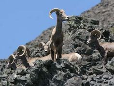 California bighorns