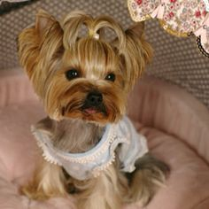 Prettiest Yorkie and cutest clothes I have ever seen. Wonder what is her name...she looks female? X