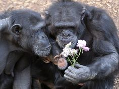Monarto Chimpanzee mum Zombi and baby Zuri (9 months) are pictured as Zuri's uncle Gombe brings roses to the young chimp and her mother to celebrate Mother's Day. Picture: Dylan Coker
