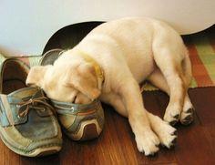 A cute Labrador Retriever puppy sleeping in a shoe. #dog #pet