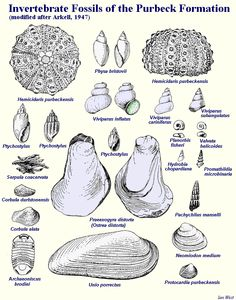 Purbeck fossils