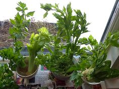 Growing Food from Scraps on the kitchen window sill.  Celery, Romaine, Onion.