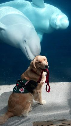 Otto the service dog visited the beluga whales at Mystic Aquarium with East Coast Assistance Dogs. We're pretty sure they're waving to him.