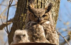 Great Horned Owls (Bubo virginianus) Adult & chick. Photo by Herm Wallace.