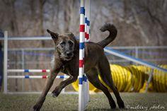 Canine Agility Trial, Albuquerque NM