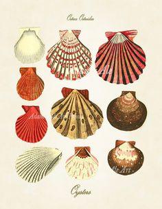 vintage illustration art, seashells illustration, art prints, seashell art, seashell print