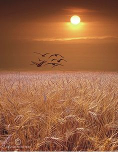 Geese flying over Wheat field at Sunset