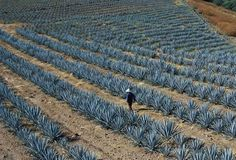 Agave Field, Tequila, Jalisco, Mexico