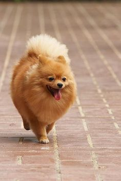 Pomeranian on a walk to who knows where!