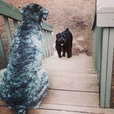 Beautiful schnoodles, many colors! www.angelasdogs.com