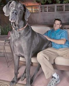 Meet George. He weighs over 245lbs. Guinness World Record Holder for Tallest Living Dog & Tallest Dog, Ever.