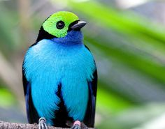 Paradise Tanager - looks like he has on a little blue suit