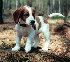 Welsh Springer Spaniel Puppy Dog
