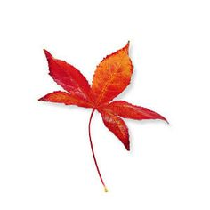 The West's best trees for fall leaves | Liquidambar