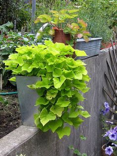 Potato Vine - I don't know why I can never get MINE to grow like this
