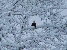 Eagle by Kelly Siebecke of Skagit County, Washington