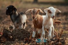 baby goats! So cute, I can't stand it!!