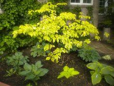 Cornus Alternifolia, Golden Shadows Pagoda Dogwood. Just beautiful!