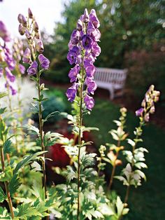 Monkshood (Aconitum) blooms in late summer, when most other shade bloomers have finished. This lovely flower is an easy, under-used plant. It grows best in Zones 3-7 and grows up to 6 feet tall. Top Picks: 'Bressingham Spire' offers violet-blue flowers on 3-foot-tall plants; 'Stainless Steel' offers steel-blue flowers on 4-foot-tall plants. Plant it with:  Kirengeshoma, a beautiful, but under-used perennial with bold foliage and yellow flowers in late summer.