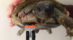 Injured tortoise gets a LEGO wheel prosthetic