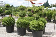 Dwarf Alberta Spruce topiaries -- so chic!