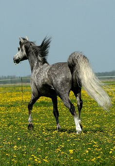 arabian horse trotting away