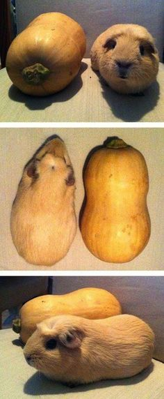 This guinea pig who is literally indistinguishable from this plump squash.