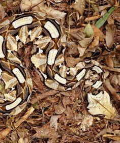 I love gaboon viper.